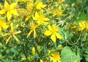 remedio hierba de san juan - hipérico