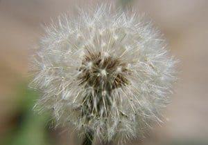 remedio casero con planta diente de león