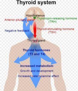 sistema de la tiroide