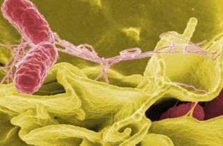 infección bacteria Helicobacter Pylori