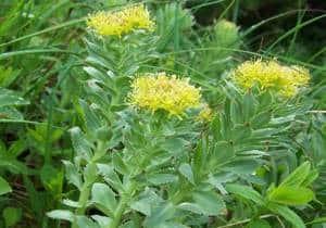 planta Rodiola