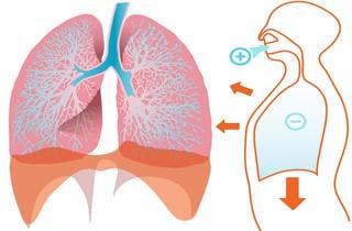 pulmones sistema respiratorio