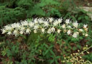 planta Cohosh negro