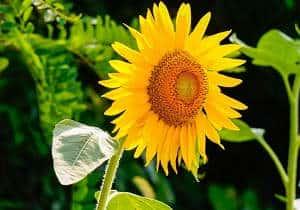 planta girasol