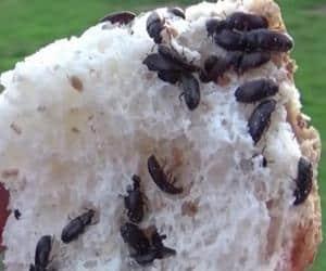 gorgojos chinos en el pan