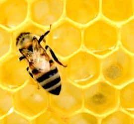 abeja y jalea real