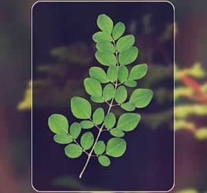 hojas de moringa oleifera