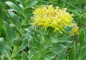 remedio planta Rhodiola
