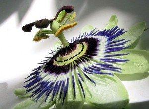 remedio con planta pasiflora
