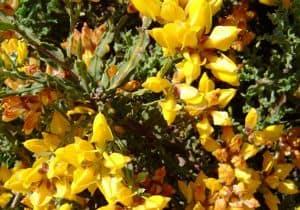 remedio con planta de tila