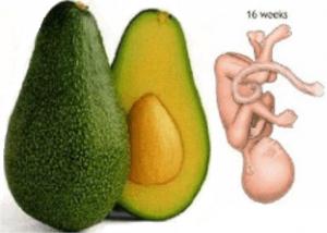 semana 16 embarazo