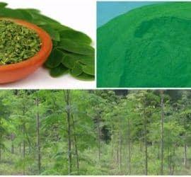 imágenes de la moringa oleifera