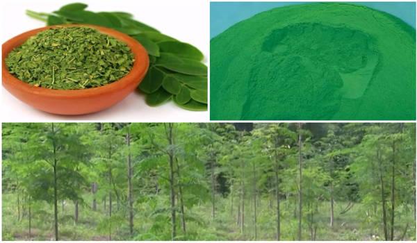 Moringa Oleifera - ¿Qué es? Propiedades, beneficios