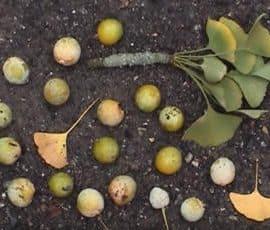 hojas y semillas del ginkgo biloba